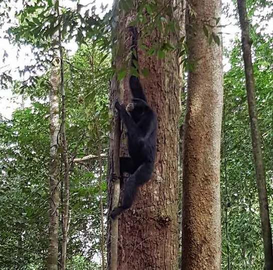 black gibbon monkeys in sumatra forest