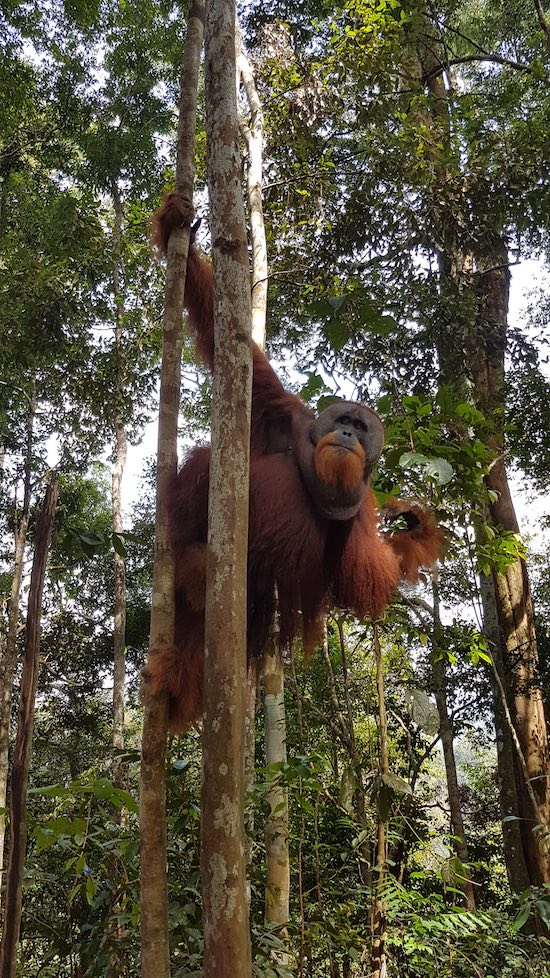alpha orangutan in sumatra