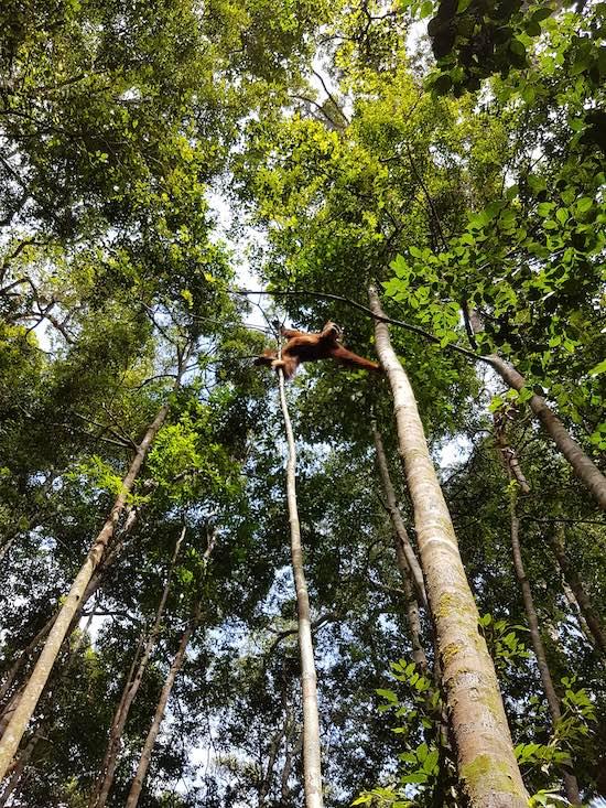 orangutan jungle trekking tour in indonesia