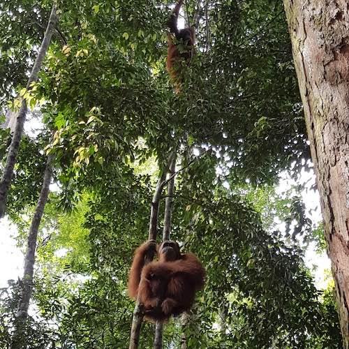 seeing orangutans in Sumatra forest