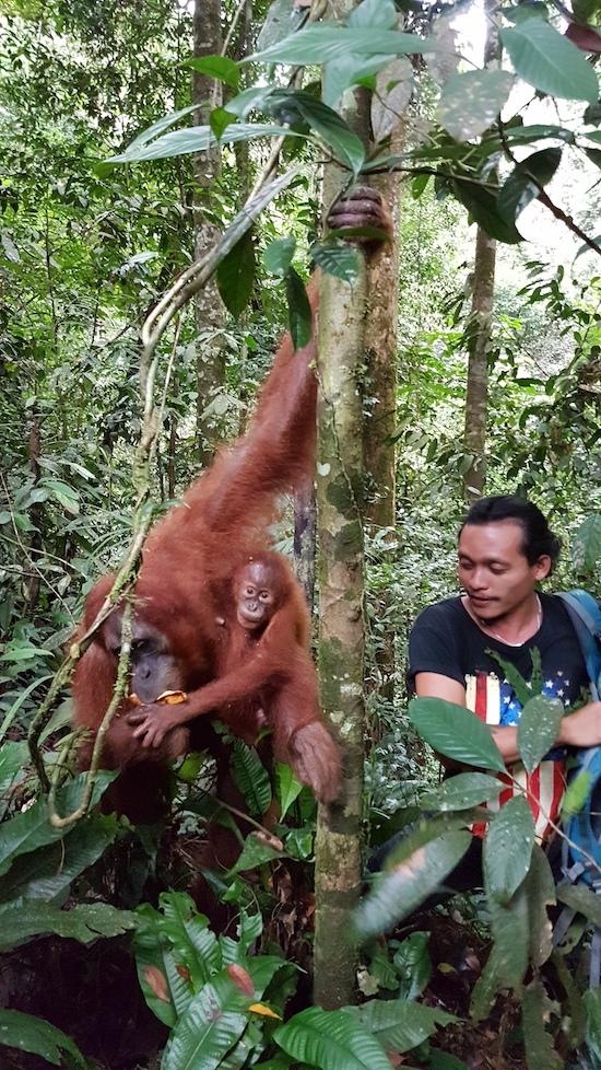 rehabilitated orangutans in bukit lawang