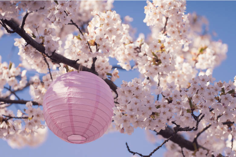 a pink paper lantern hanging on a japanese cherry blossom tree at a kirschblutenfest in germany