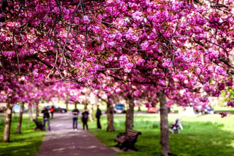 the most popular cherry blossom avenue or lane in berlin on bornholmer strasse in prenzlauerberg
