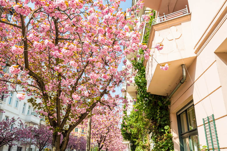 pink cherry blossoms in front of an apartment building in rykestrasse in prenzlauerberg district berlin