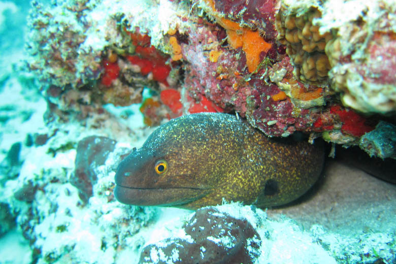 underwater photo of moral eel with its head poking out from colourful coral reef taken whilst scuba diving in zanzibar