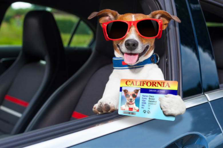 a funny picture of a dog wearing sunglasses and holding a US driver's license sitting in a car