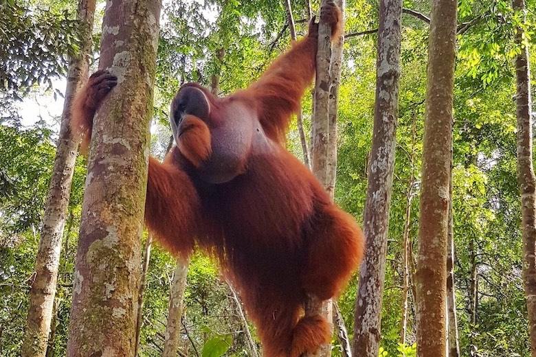 jungle trekking in indonesia and seeing orangutans in bukit lawang