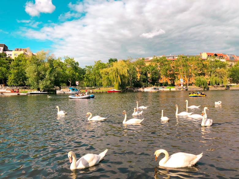 swan swimming in the landwehr canal in kreuzberg suburb of berlin