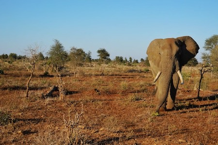 a wild african elephant spotted on a safari trip in the kruger national park, south africa