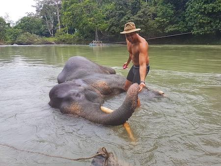 man washing an elephant in the rivers of north sumatra indonesia
