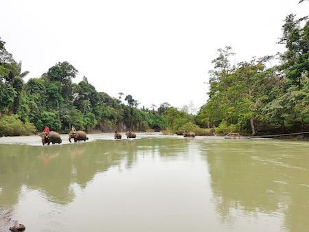 sumatran elephants crossing the river in tangkahan north sumatra indonesia