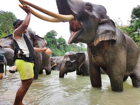 tangkahan elephant camp in sumatra with a mahout and his elephant