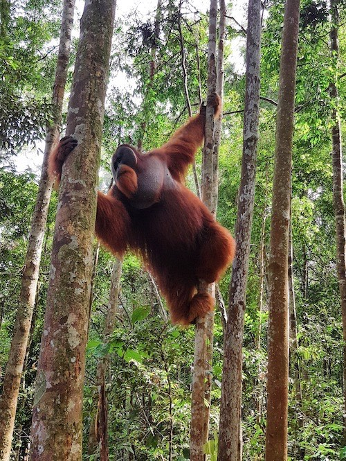 seeing orangutans while jungle trekking in indonesia in sumatra